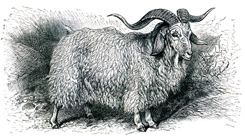 Natural Fabrics Obtained From Animals - Angora Goat