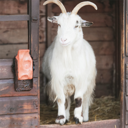 Natural Fabrics Obtained From Animals - Cashmere Goat